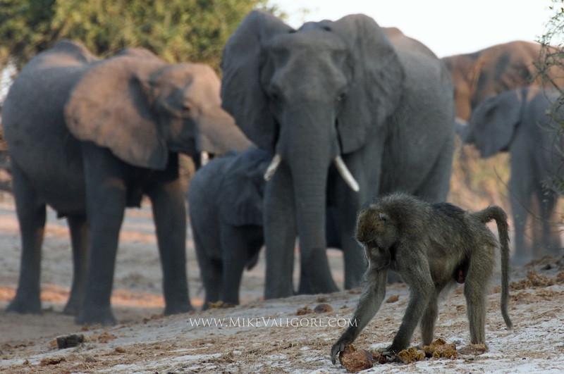 Baboon sifting through elephant dung<br /> Chobe riverfront, Botswana