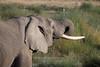 Elephant drinking <br /> Serengeti, Tanzania
