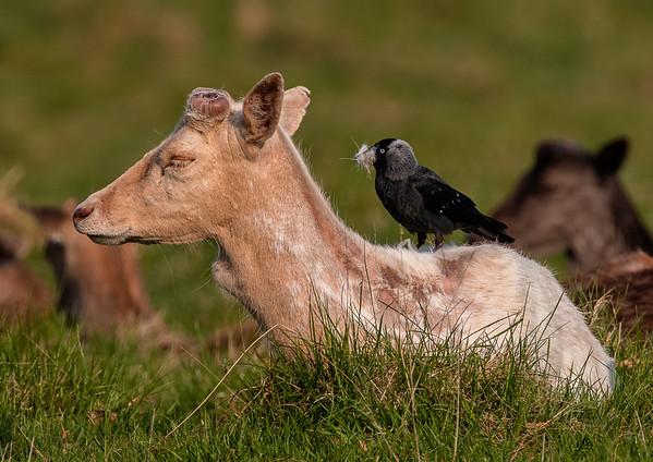 Deer getting a haircut by bird