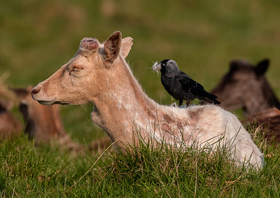 Deer getting a haircut by bird