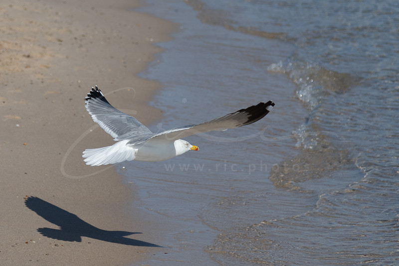 le décollage | take-off of a seagull