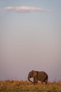 Twilight elephant