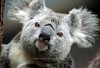 Furry Ears<br /> Queensland, Australia<br /> <br /> With their furry ears and cuddly appearance, koalas are one of the most endearing and iconic animals Australia has to offer.