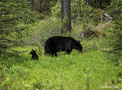 Bear at Maligne Lake Road-1