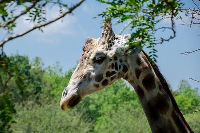 Zebra - Cape May County Zoo