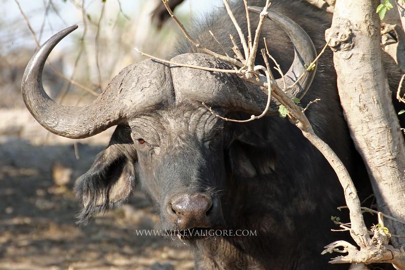 Cape buffalo along the Chobe River<br /> Botswana
