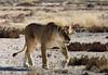 Stalking lioness<br /> Etosha, Namibia