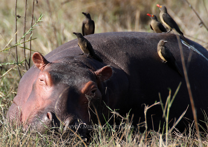 Sleepy Hippo and Oxpeckers<br /> Liwonde, Malawi