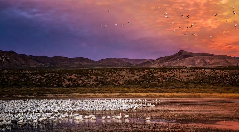 Snow geese in the evening