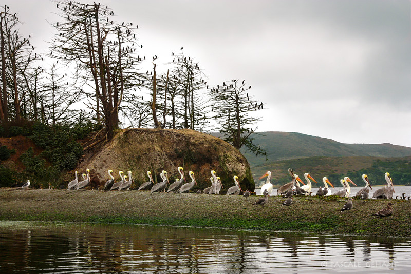 Pelicans on Hog Island