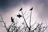 Hitchcock cormorans