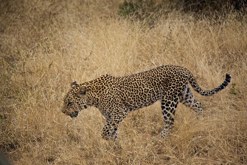 Roaming Leopard