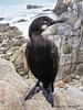 Young cormoran