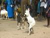 Goat fight