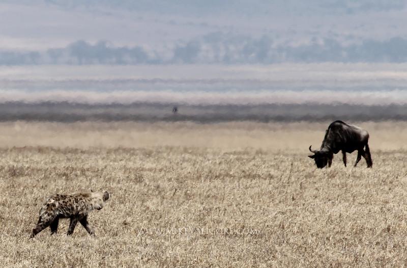 Hyena and wildebeest<br /> Ngorongoro Crater
