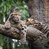 clouded leopard stare