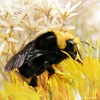 Bumblebee on yellow flower 3