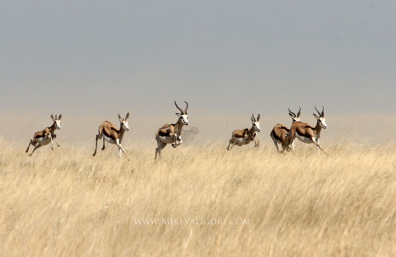 Cheetah hunting antelope<br /> Etosha, Namibia