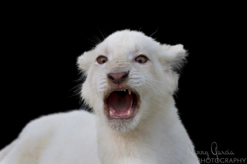 White Lion Cub Growling