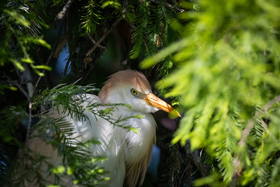 Cattle Egret - May 2019-2