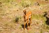 Elk Calf-7022