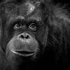 Orang Utan, thoughtful
