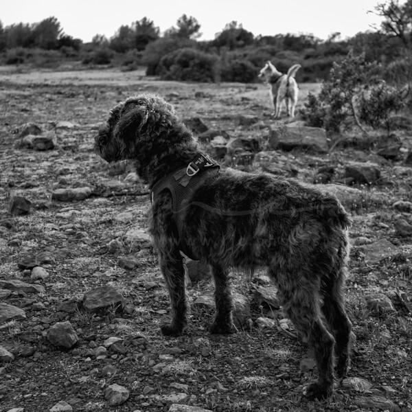 mes deux chiens de garde | my two guard dogs