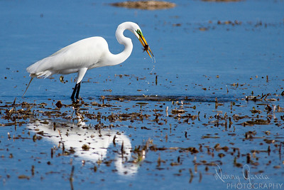 Great Egret Catching Fish