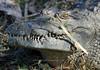 African crocodile profile<br /> Liwonde, Malawi