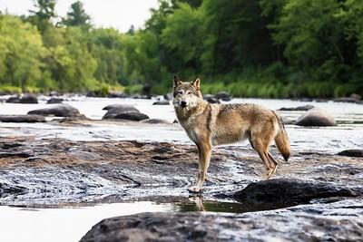 Gray Wolf 1530