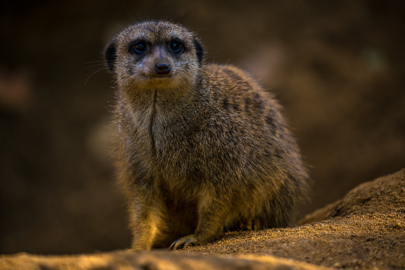 Meerkat, resting for a second, before hitting the road again...