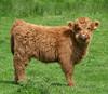 Highland calf 2