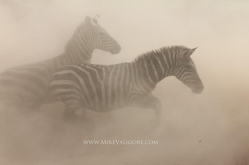 Dusty Zebras<br /> Serengeti, Tanzania
