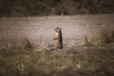 Prairie Dog - New Mexico