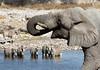 Elephant drinking with zebras<br /> Etosha, Namibia