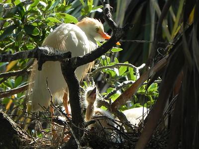 Snowy Egret Nest