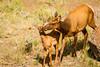 Elk and Calf-7033