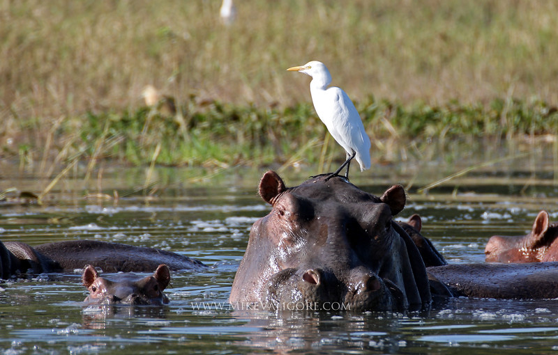 Baby hippo with mother<br /> Lilongwe, Malawi
