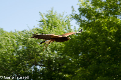 Hawk mid-flight.