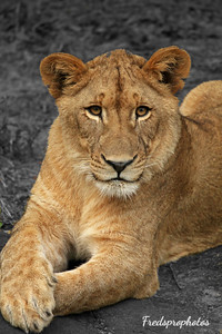zoo Lion 2 - Dec 15a