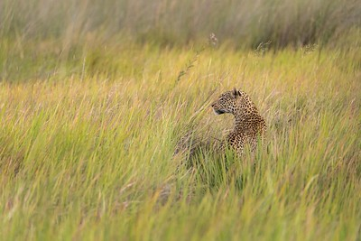 Leopard in long grass