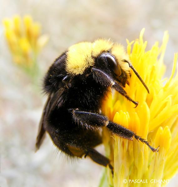 Bumblebee on yellow flower 2