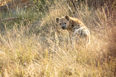 Hyena 4054