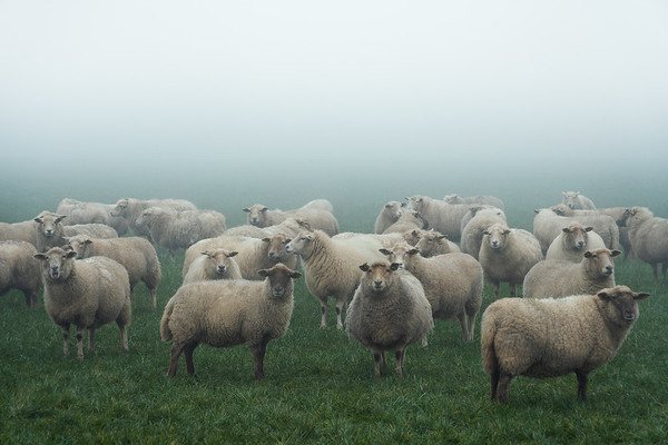 Even sheep look better with some fog