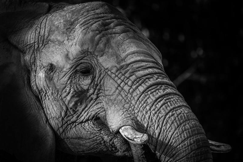 African Elephant enjoying the morning sun
