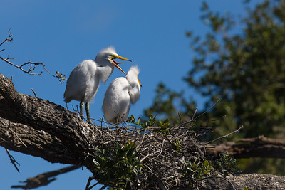 Great Egret Chicks - May 2019-1