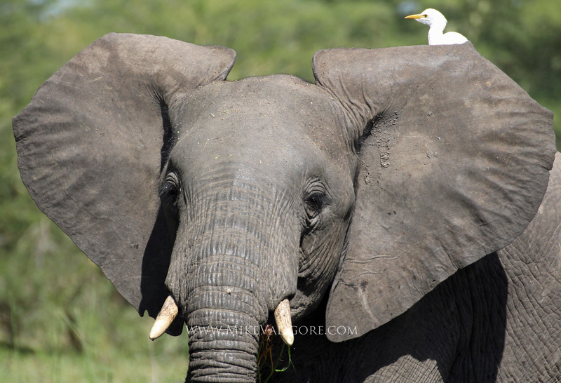 Adolescent elephant and bird on the Shire River<br /> Liwonde, Malawi