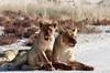 Bloody lions post-kill<br /> Etosha, Namibia