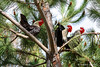 Roosters in tree