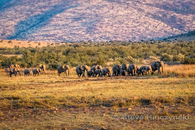 African Elephant 3558